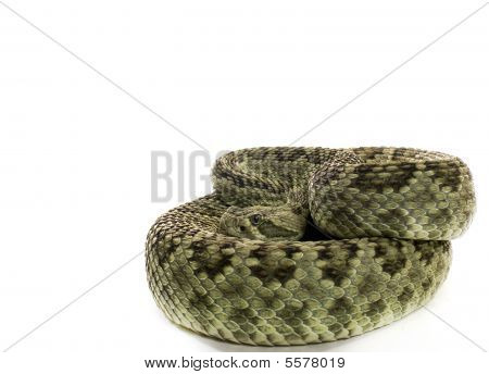 Green Mojave Rattlesnake