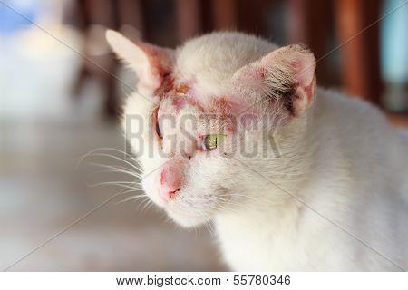 Injured White Cat