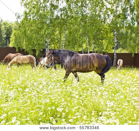 Horses On Meadow With Camomiles