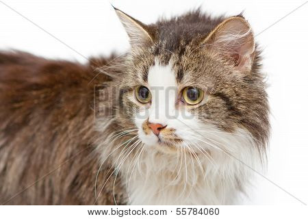Sad cat with yellow eyes on white islated background