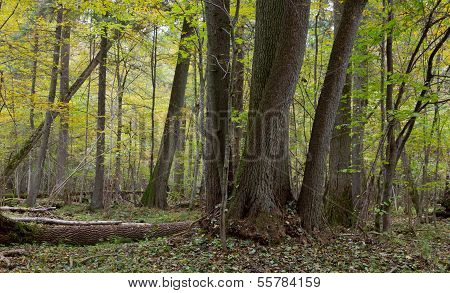Old Alder Trees In Fall
