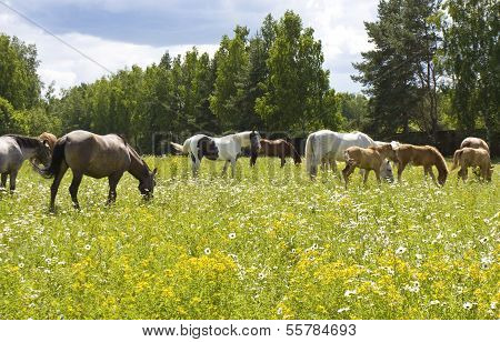 Herd Of Horses On Meadow In Blossom