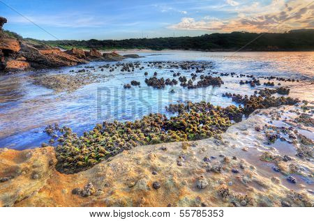 Cunjevoi Sea Squirts