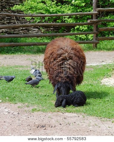 Brown sheep with a black lamb in a farmyard