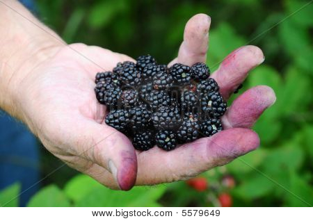 Handfull Of Blackberries