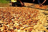 Fresh Cacao Beans Drying In The Sun