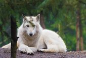 pic of wolf-dog  - The arctic wolf  - JPG