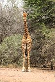 image of bulge  - Front View of Strong Bodied Giraffe with bulging muscles standing next to trees - JPG