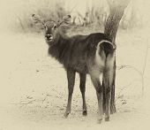 stock photo of bosveld  - Sepia Toned Picture of an Alert Waterbuck Looking Backwards Listening Carefully to Every Sound - JPG