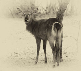 picture of bosveld  - Sepia Toned Picture of an Alert Waterbuck Looking Backwards Listening Carefully to Every Sound - JPG