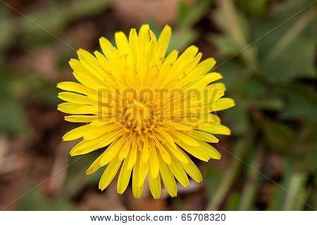 Dandelion Flower Weed