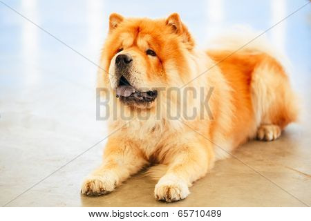 Brown Chinese Chow Chow Dog