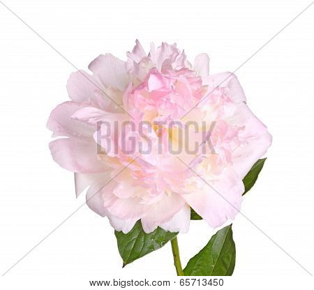 Pink And White Peony Flower, Stem And Leaf Isolated