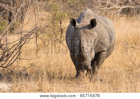Close-up Of A White Rhino In The Bush With A Tough Wrinkled Skin