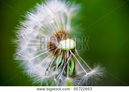 Dandelion Flower With Partly Overblown Seeds On The Green Background