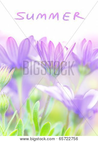 Summer fresh flowers, violet daisy blooming field, gentle floral glade in the garden, beautiful meadow, soft focus, beauty in nature concept, over white background with text space