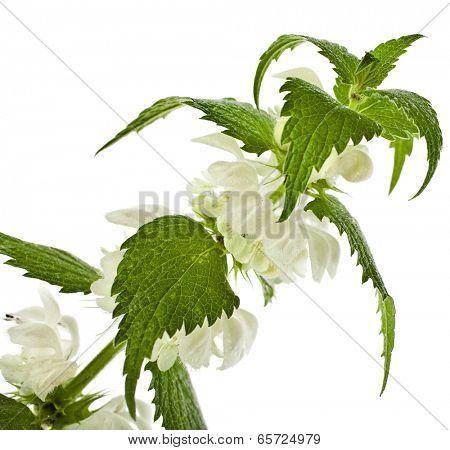 white dead-nettle flowering  (Lamium album) close up  isolated on white background