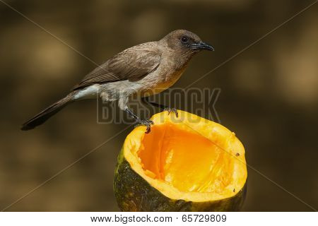 A Common Bulbul (pycnonotus Barbatus) Perched On A Papaya