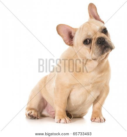 french bulldog puppy sitting looking at viewer isolated on white background