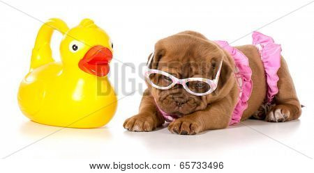 dog in bikini with rubber duck