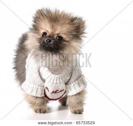 pomeranian wearing valentines day sweater