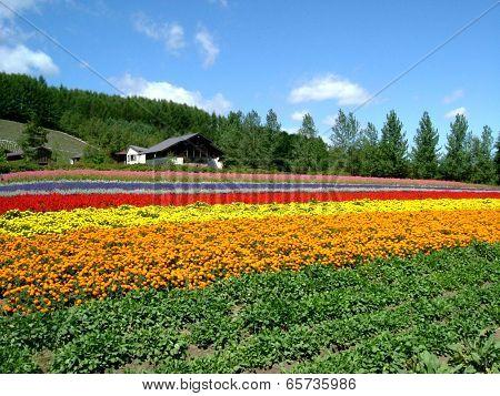 Hokkaido flower field in summer