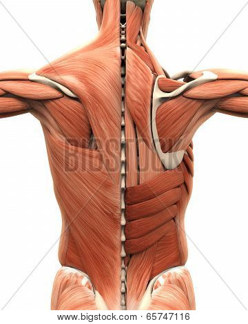 Muscular Anatomy of the Back