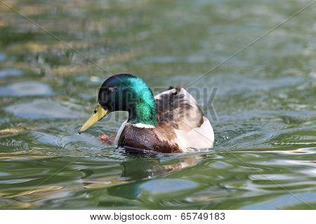 Male Mallard On Lake Surface