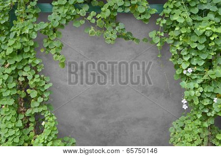 Ivy Bush With Concrete Background