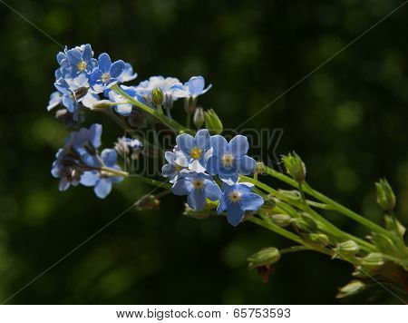 blue flowers of forget-me-no