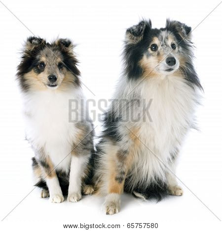 Shetland Puppy And Adult
