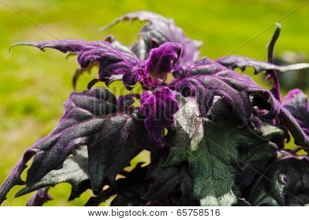 Growing A Velvety Purple Passion Plant In The Summer Sunshine