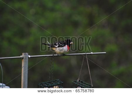 Red-breasted Grosbeak Perched On A Feeding Pole