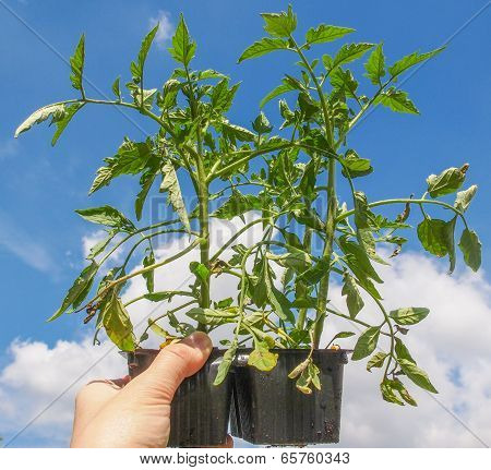 Plug Tomato Plant
