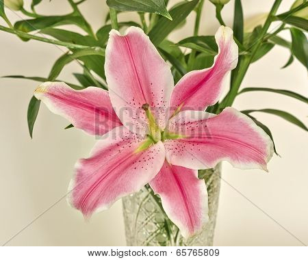 pink lilium flower closeup