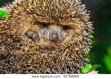 Four-toed Young Hedgehog, Atelerix Albiventris
