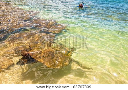 Green Sea Turtle swimming in ocean - Maui, Hawaii