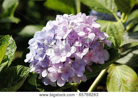 Hydrangea Or Hortensia Flower