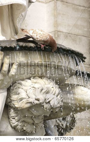 Dove drinking at the fountain