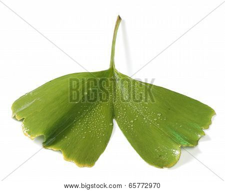 Fresh gincgo biloba leaf isolated