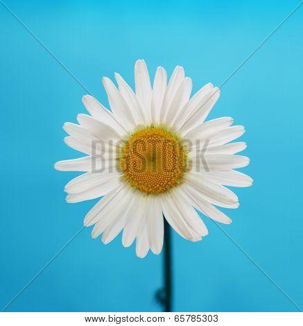 chamomile flower on blue background