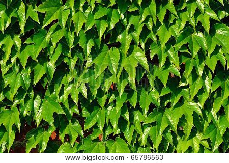 Common Ivy (hedera Helix) On A Brick Wall