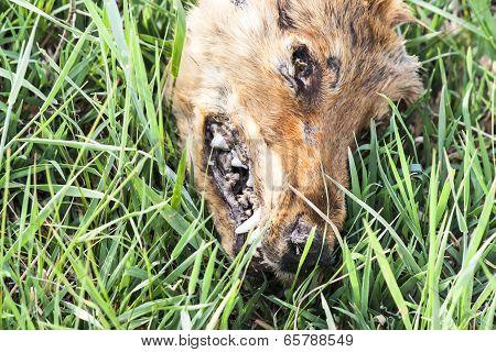 The head of a dead animal