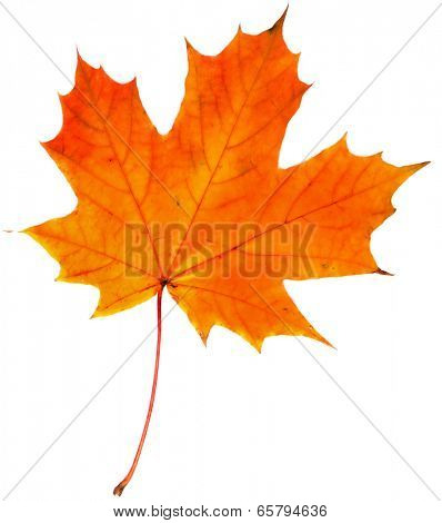 one autumn leaf isolated on a white background