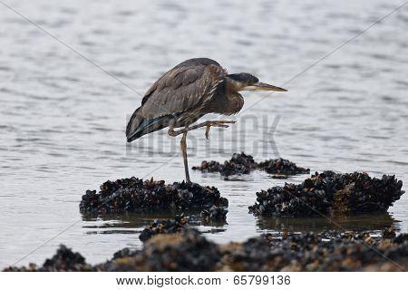 Great Blue Heron Pose
