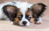 picture of epagneul  - Portrait of a cute sleeping puppy Papillon on a light brown background - JPG