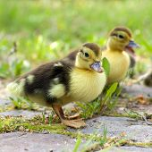 pic of musky  - Group of little ducklings walking on a green meadow - JPG