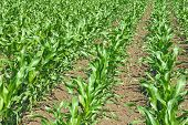 pic of corn stalk  - Green corn agricultural field on which grow up young corn - JPG