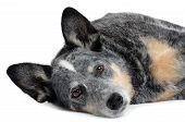 stock photo of blue heeler  - blue heeler dog laying on white background - JPG