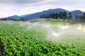 stock photo of water cabbage  - Cabbage vegetable farm watering with beautiful mountain landscape - JPG